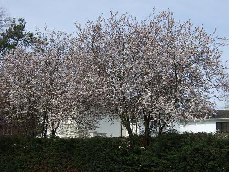 イギリスの桜2