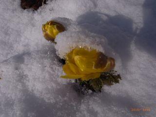 雪の福寿草