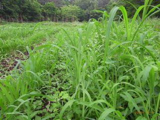 草の伸び方
