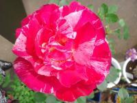 20110516 家のバラ