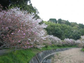 川べりの桜縮小ph