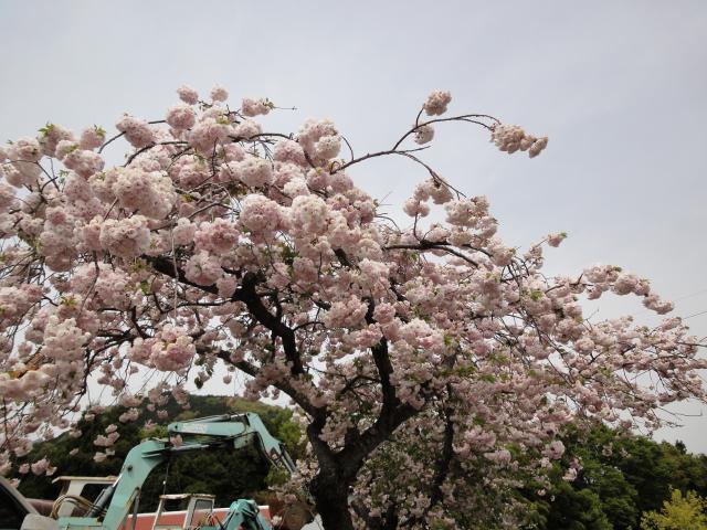 2011年4月30日~5月1日 山の家の桜
