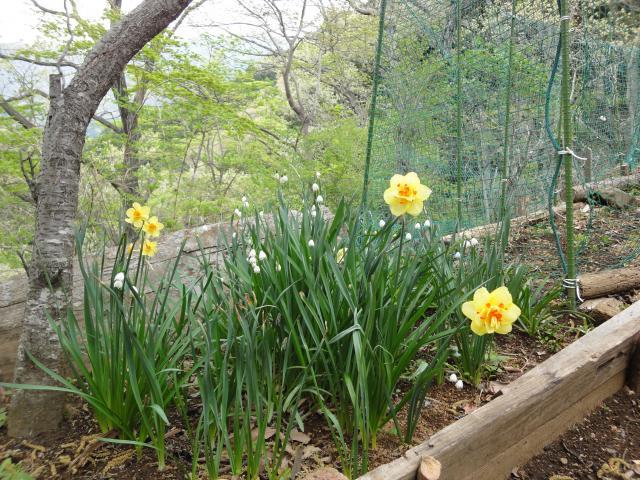 2011年5月1日 すいせんが咲きました
