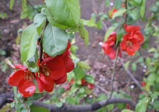 桜 (赤い花)