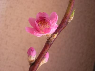 桃の花_convert_20100221134014