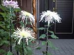 町で見かけた花シリーズhana09309