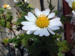 町で見かけた花シリーズhana09320