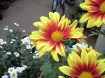 町で見かけた花シリーズhana09325