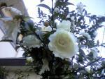 町で見かけた花シリーズhana09336
