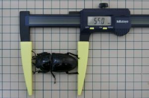 川西♀早期羽化55.0ミリ ノギス