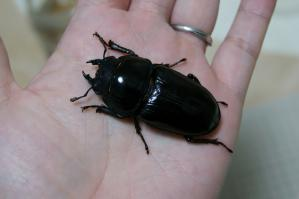 川西♀早期羽化55.0ミリ