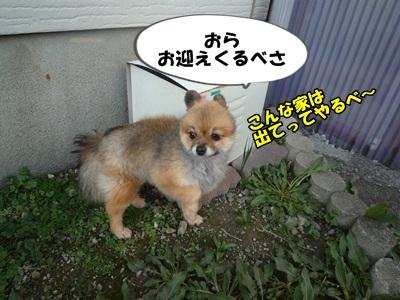 たぬきP1160697