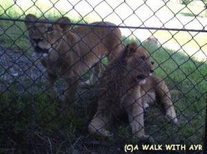 子ライオンズ