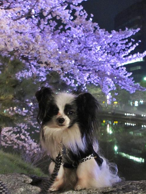 夜桜② 151