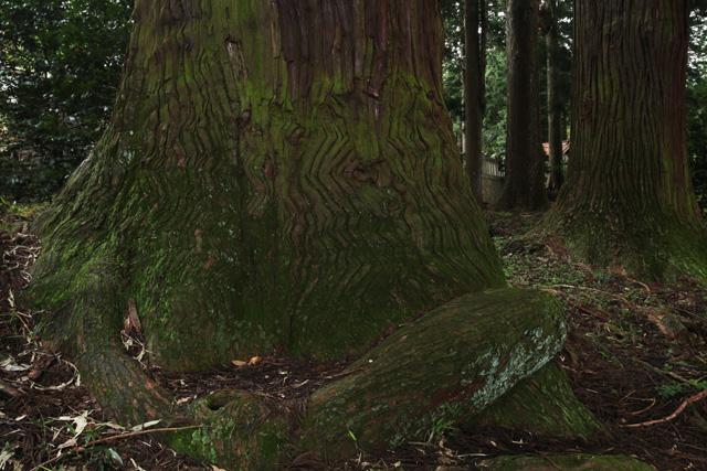 宇佐八幡宮のスギ巨樹群3