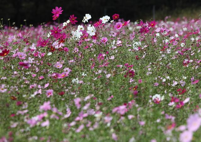 世羅ゆり園のなつかし花壇1