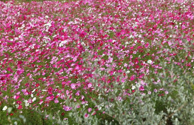 世羅ゆり園のなつかし花壇2
