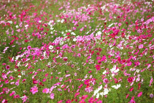 世羅ゆり園のなつかし花壇4