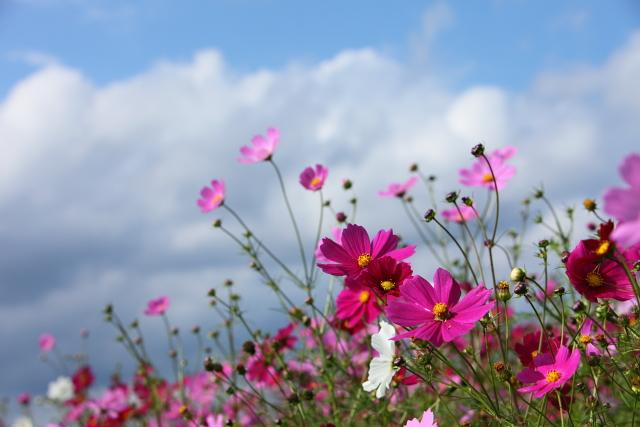 世羅ゆり園のなつかし花壇3