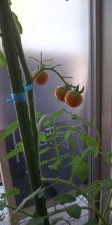 トマト 成長