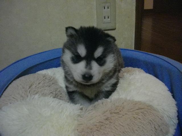 ミサの子犬4月26日生まれ 001