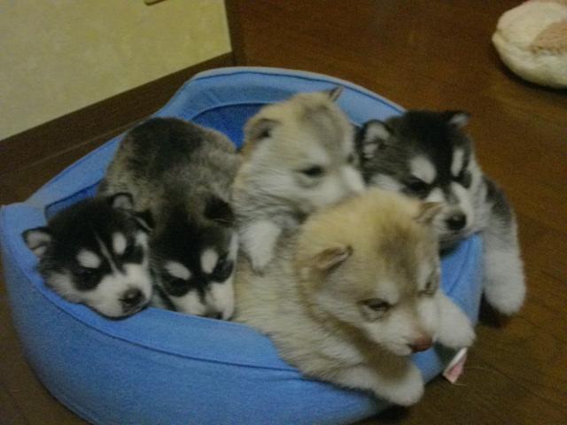 ミサの子犬4月26日生まれ 015