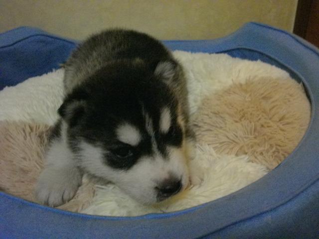ミサの子犬4月26日生まれ 004