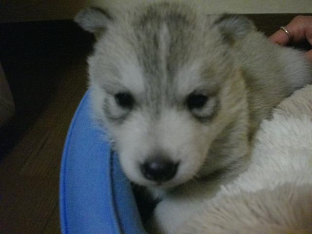 ミサの子犬4月26日生まれ 008