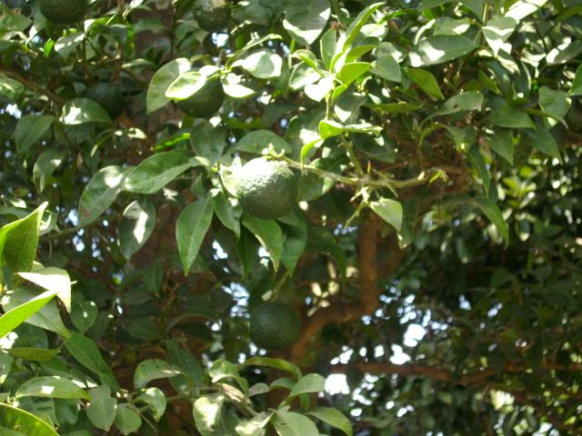 美香の柚子 002
