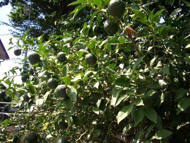 美香の柚子 003