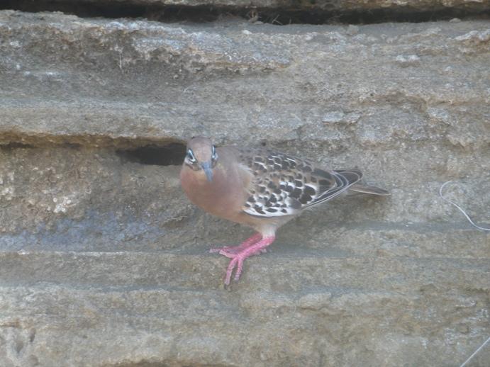 ガラパゴス  鳥
