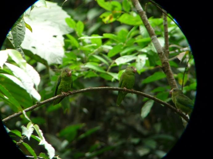 ヤスニ国立公園のアイドル:青翼のインコウ