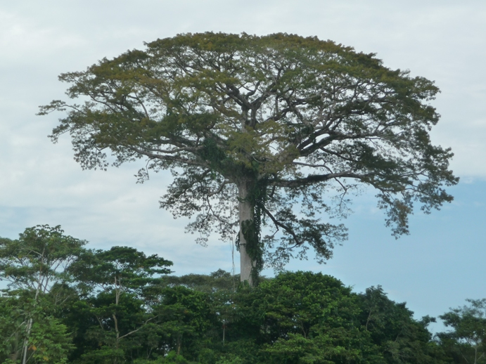 アマゾンジャングルに立つ40M以上の大木