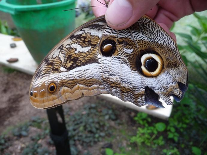 チョウの擬態(右下部は蛇を模している)