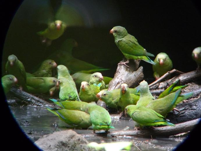 青翼のインコの群れ、余りの愛くるしさに感動