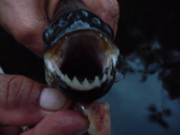 ピラニアの鋭い歯(食べたら白身で美味しかった)