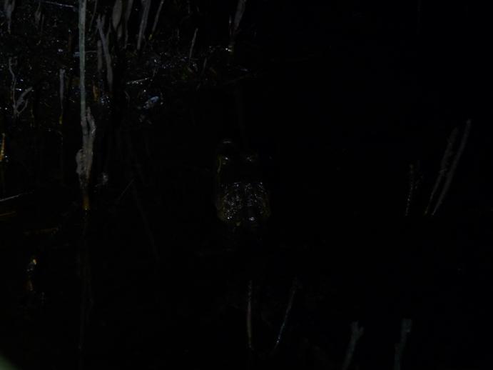 暗黒の湿地に潜むケイマンワニ