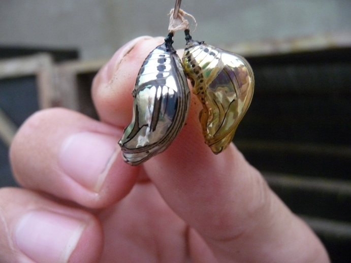 蝶のサナギ(金銀色)