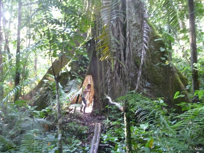 人が通れる大木