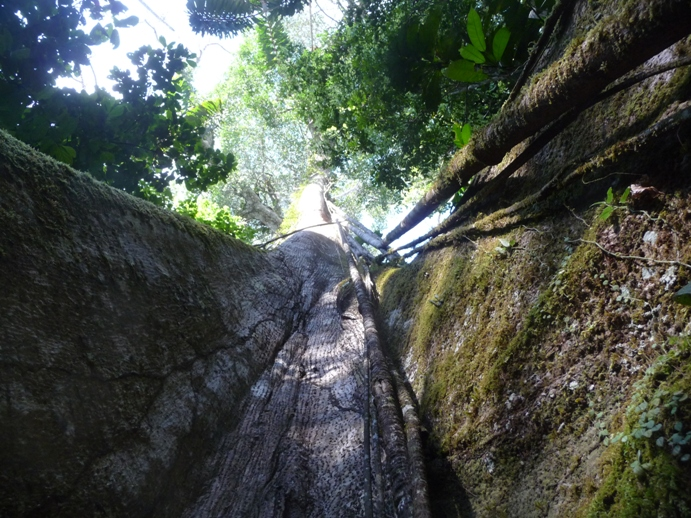 高木のテッペンまで水と栄養を効率良く運ぶバイパス