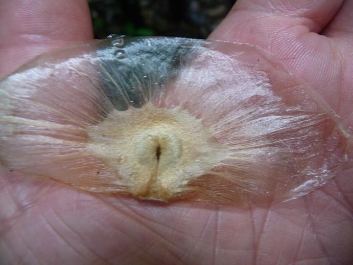 プロペラを持った種