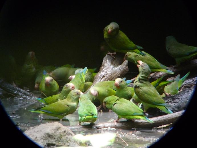青翼のインコの群れ11