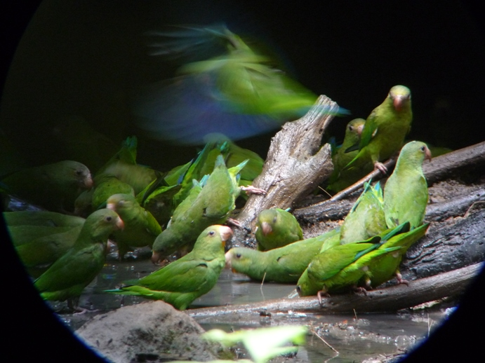 青翼のインコの群れ9