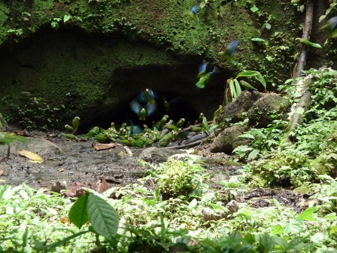 青翼のインコの群れ6