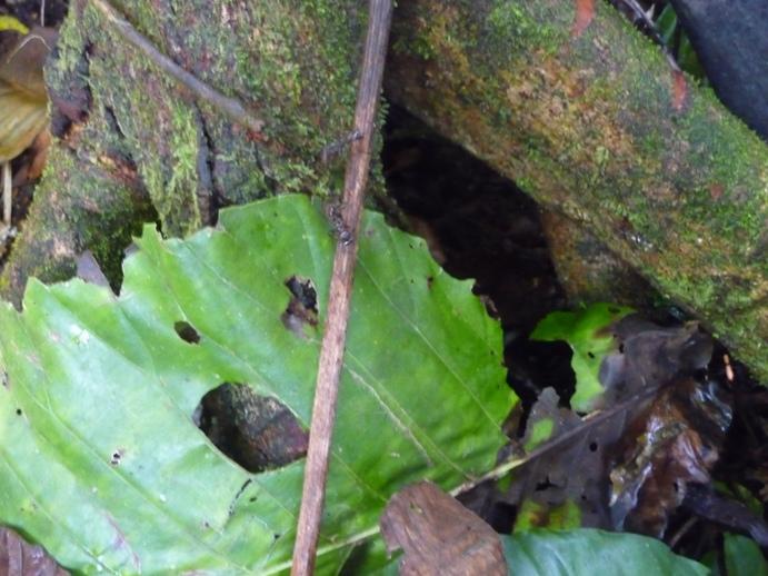小枝を歩くアマゾンアリ