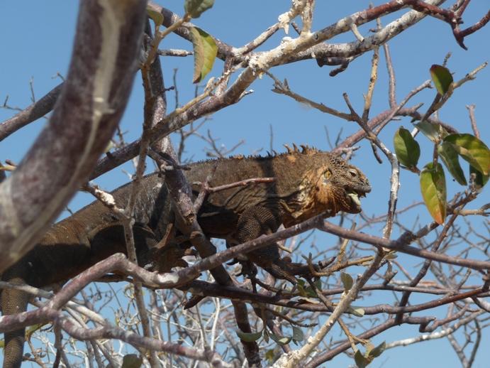 葉っぱを食べるイグアナ