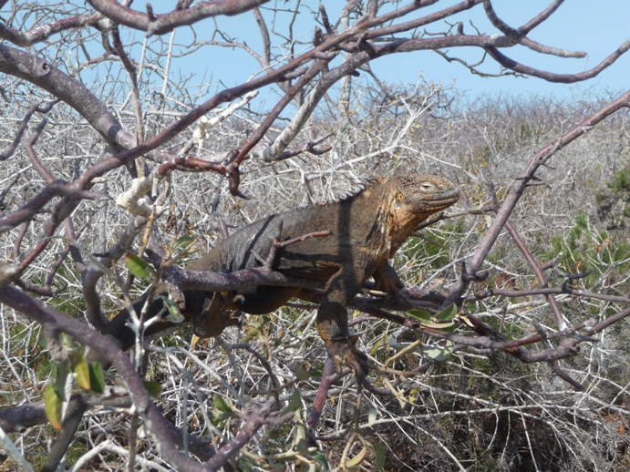 木のぼり上手なリクイグアナ