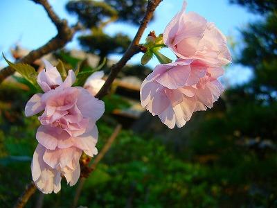 山さくらの桜