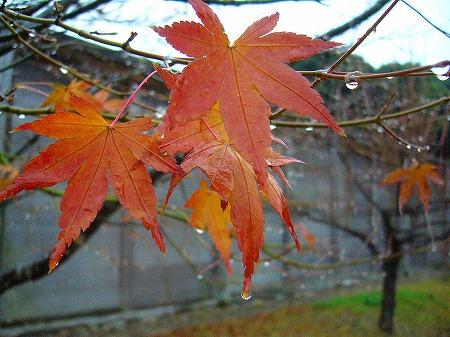 紅葉1~2枚