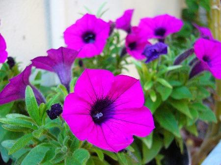 朝顔みたいな花
